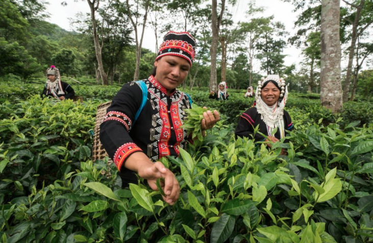things to do, things to do in chiang mai, chiang mai, tea plantation, harvest