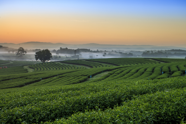 Romantic Places in Thailand for Honeymoon and Couples How about switching from wine to fine green tea from Choui Fong Tea Plantation in Chiang Rai