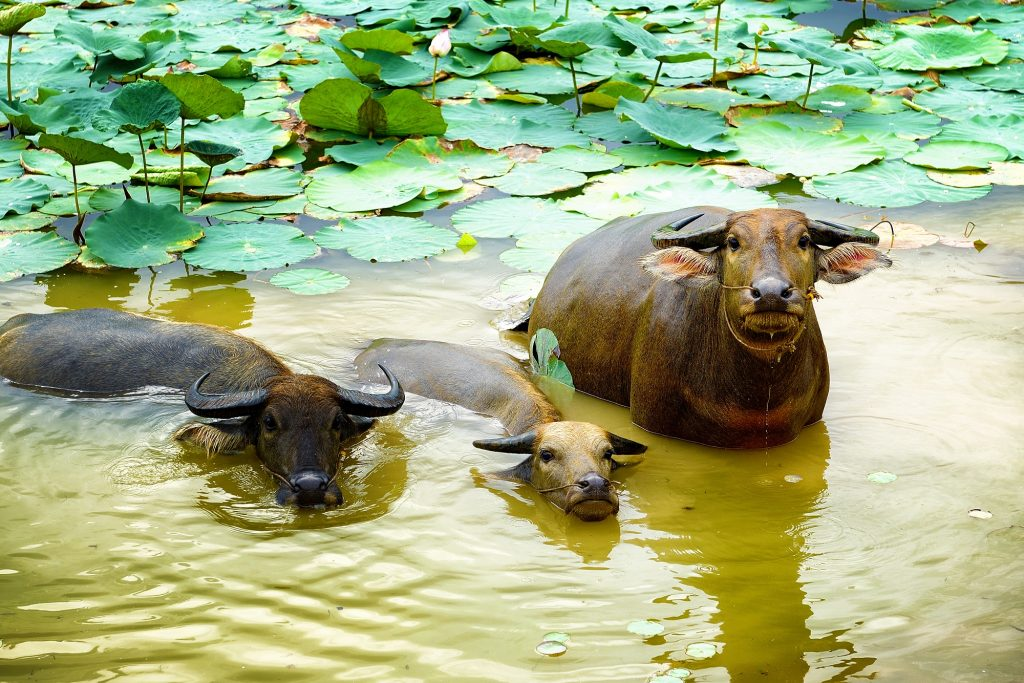 Buffaloes showering in lotus pond